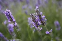 Espliego - Flor