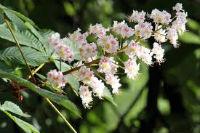 castano flor