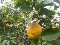 limonero floracion