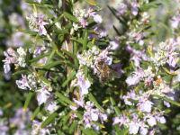 romero flor miel